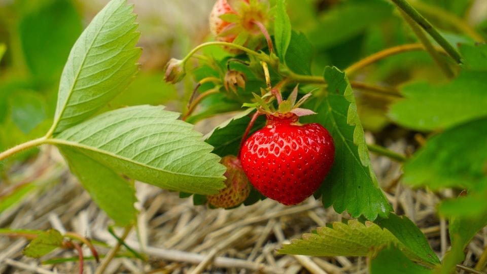 Un plant de fraises.