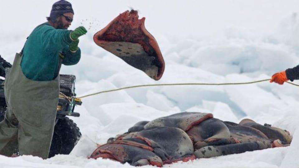Un chasseur sur la banquise empile des peaux de phoque.