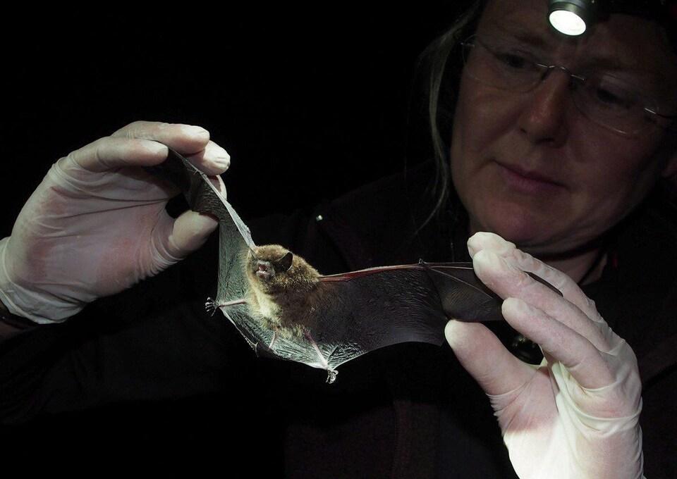Cori Lausen porte des gants et déploie les ailes de la chauve-souris. Elle l'éclaire à l'aide d'une petite lampe frontale.