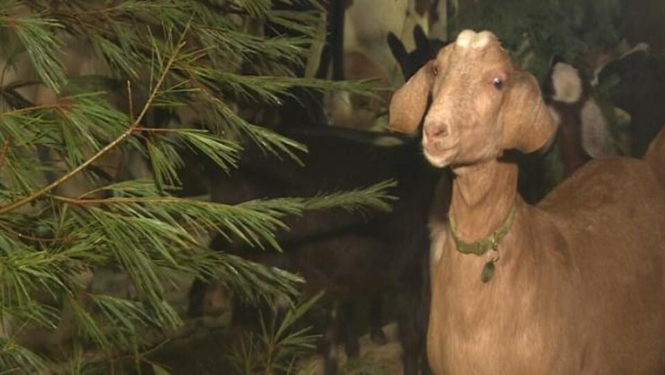 Les chèvres de la ferme Rainbow Springs, sur la côte sud de la Nouvelle-Écosse, raffolent des pousses de conifères.