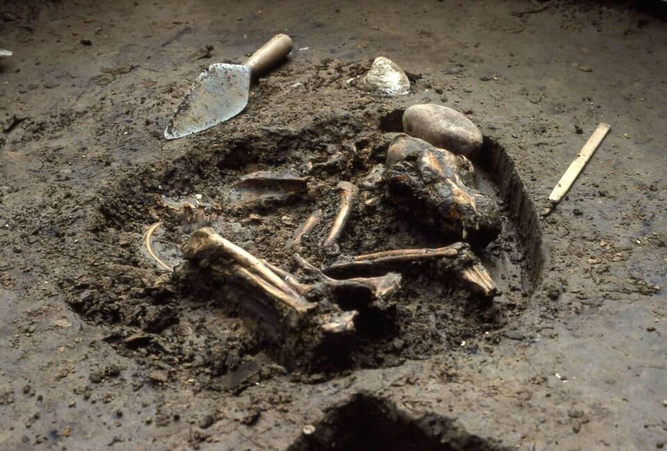 Un squelette de chien