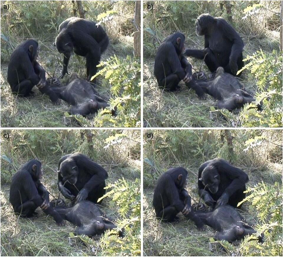 On voit la femelle chimpanzé manipuler le corps de son bébé, au sol.