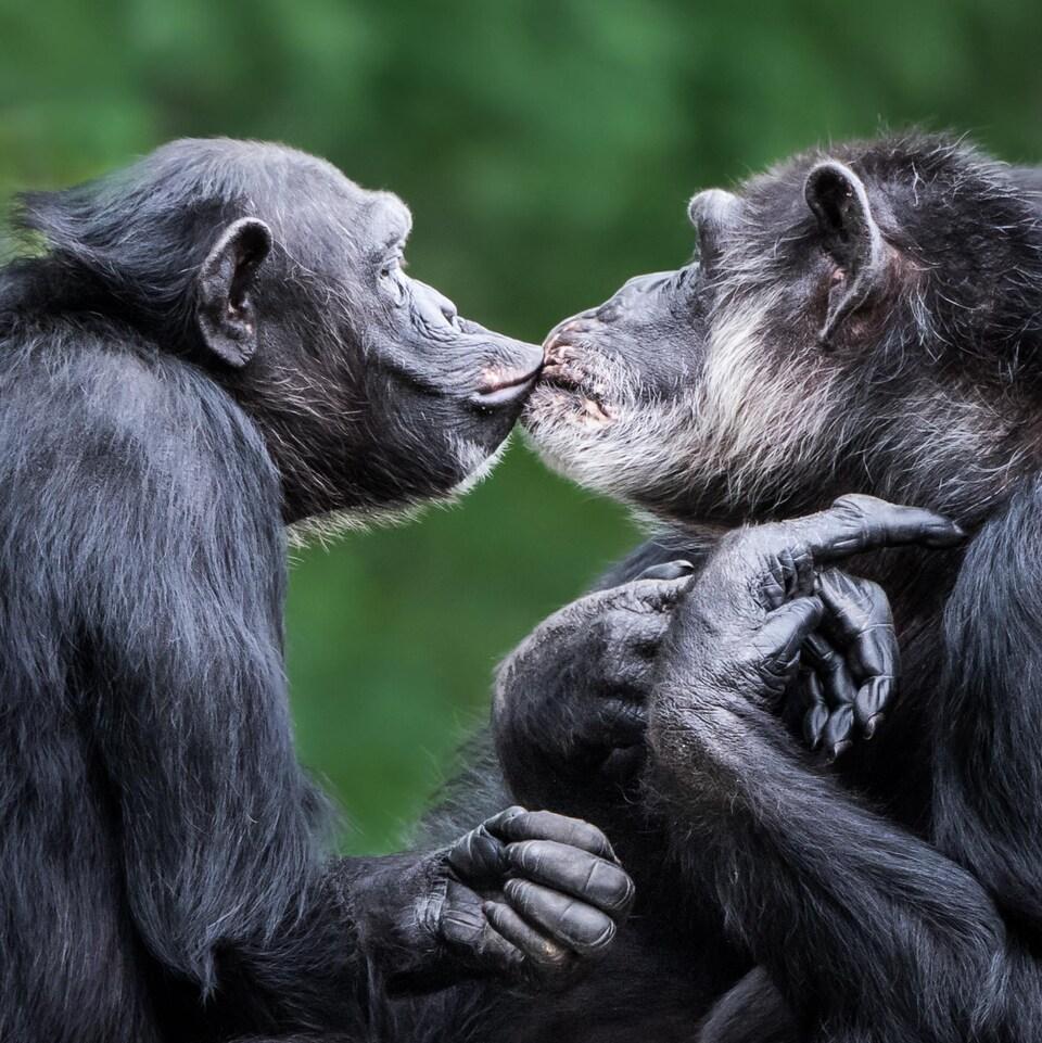 Deux chimpanzés s'embrassent.