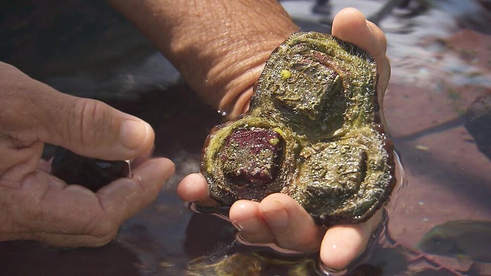 Un corail qui peut servir à la production en captivité