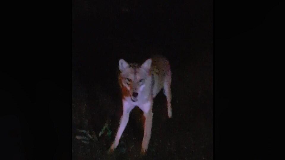 Coyote aperçu à Ville Mont-Royal
