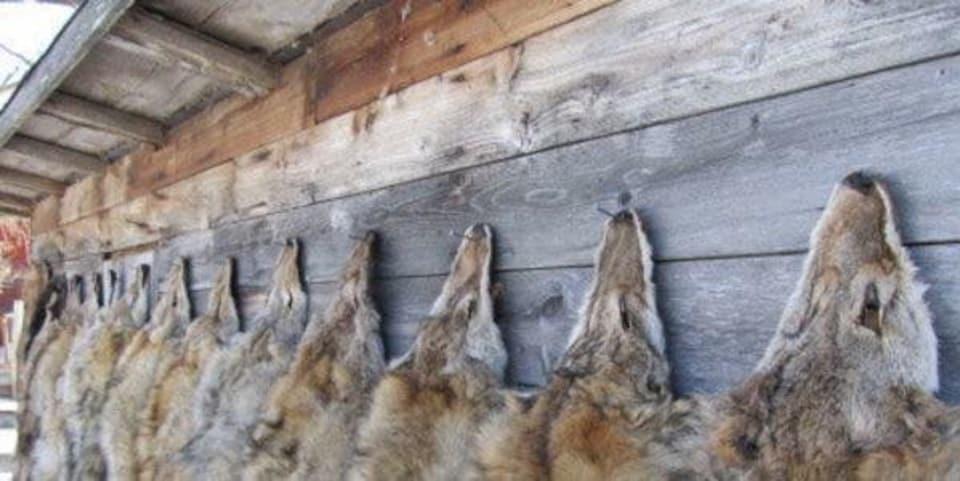 Des fourrures de coyotes sont cloués au mur d'une grange.