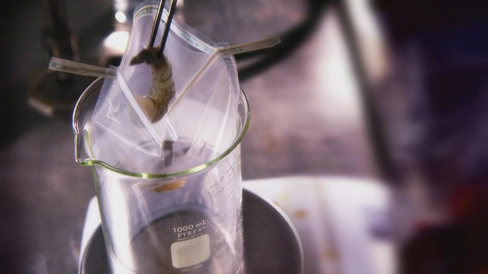 On voit une crevette crue tenue à l'aide de pinces au-dessus d'un sac en plastique placé dans un bécher.