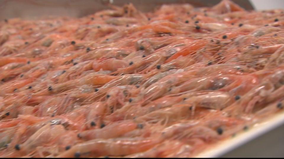 Des milliers de crevettes nordiques en gros plan