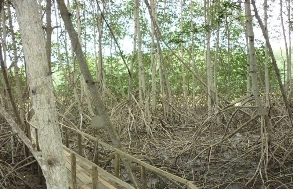 Les arbres d'une mangrove.