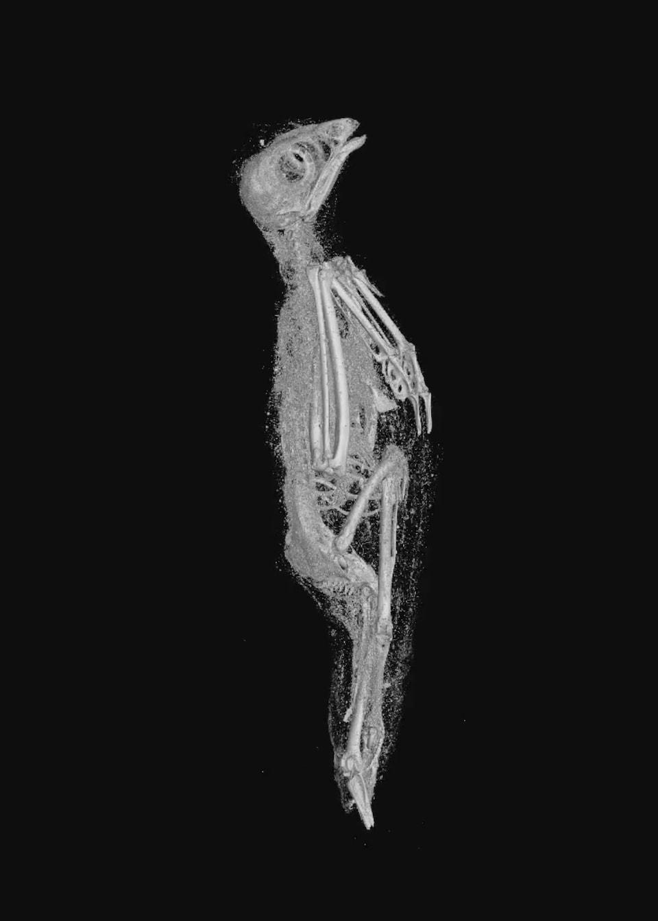 Vue d'un oiseau momifié révélée par l'imagerie 3D.