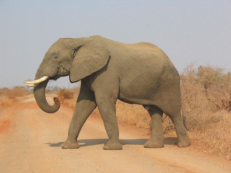 L'éléphant seul traverse une route en terre battue.
