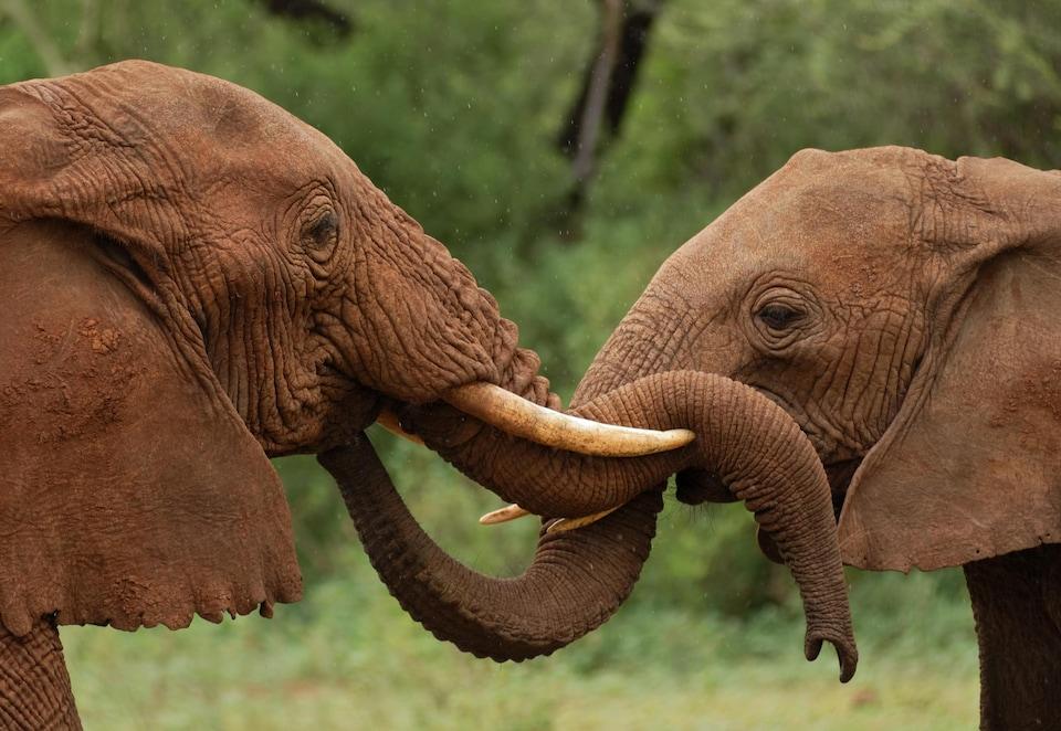 Deux éléphants.