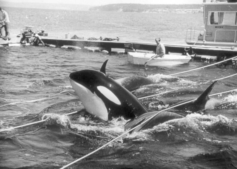 Un épaulard dans un bassin en mer. Une photo en noir et blanc.