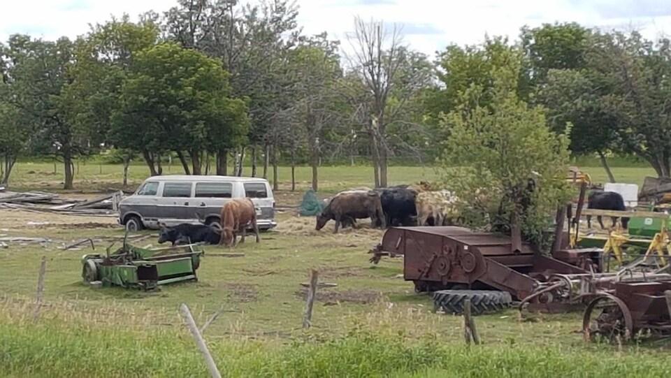 Du bétail entourant un vieux véhicule ainsi que de la machinerie agricole sur la ferme de Drago Kucas.