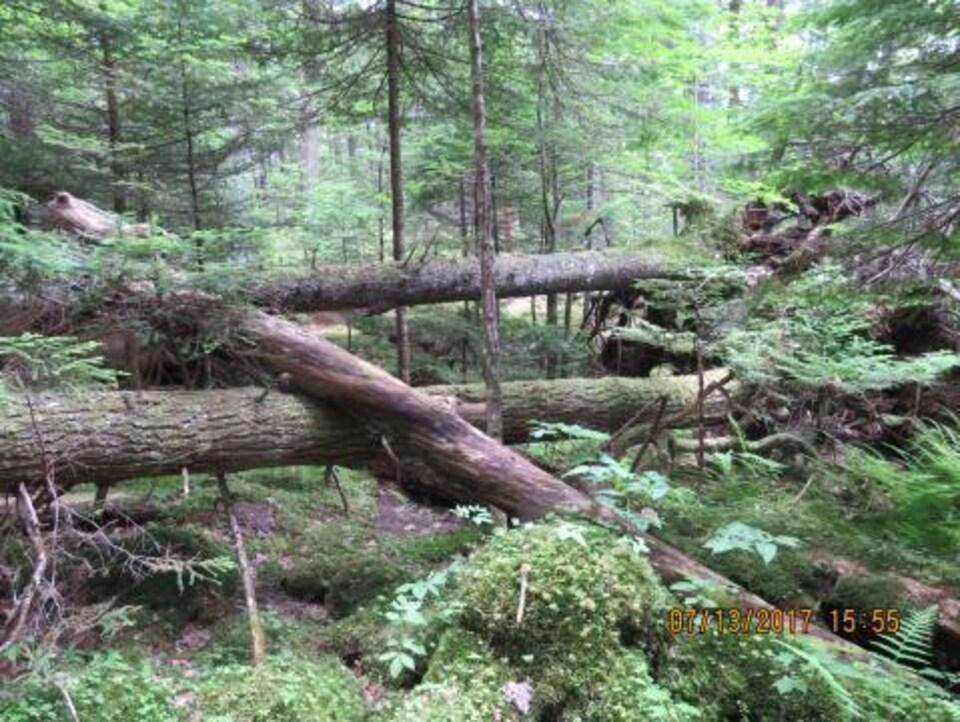 Enchevêtrement d'arbres dans une forêt ancienne près d'Halifax.