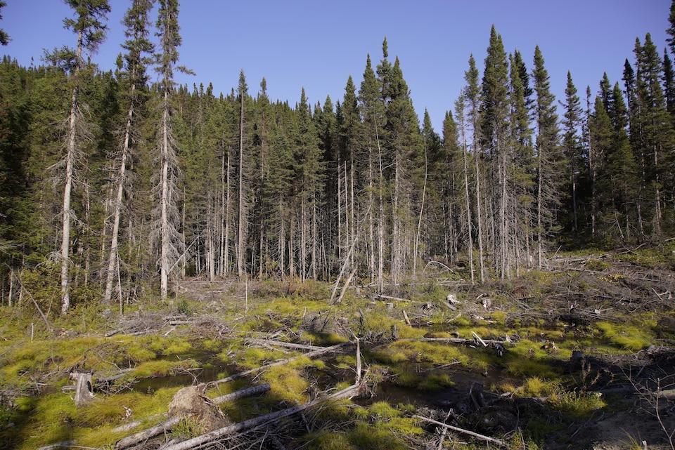 La forêt de la Côte-Nord.