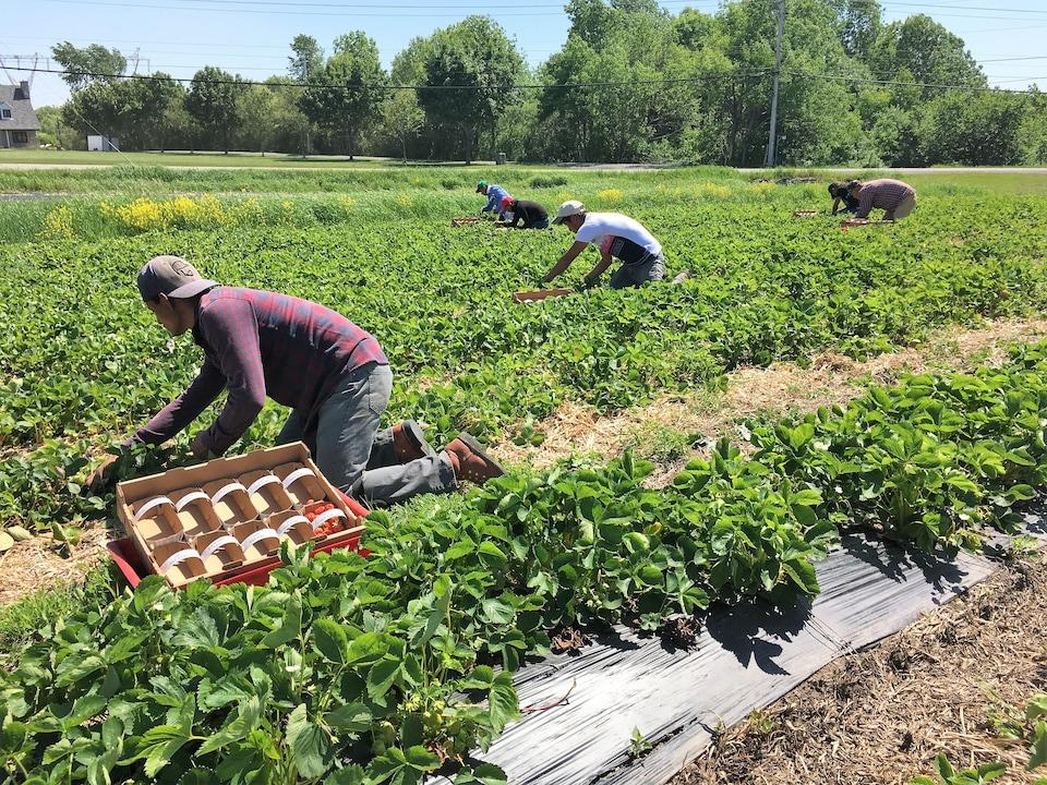 Des travailleurs récoltent des fraises dans un champ.