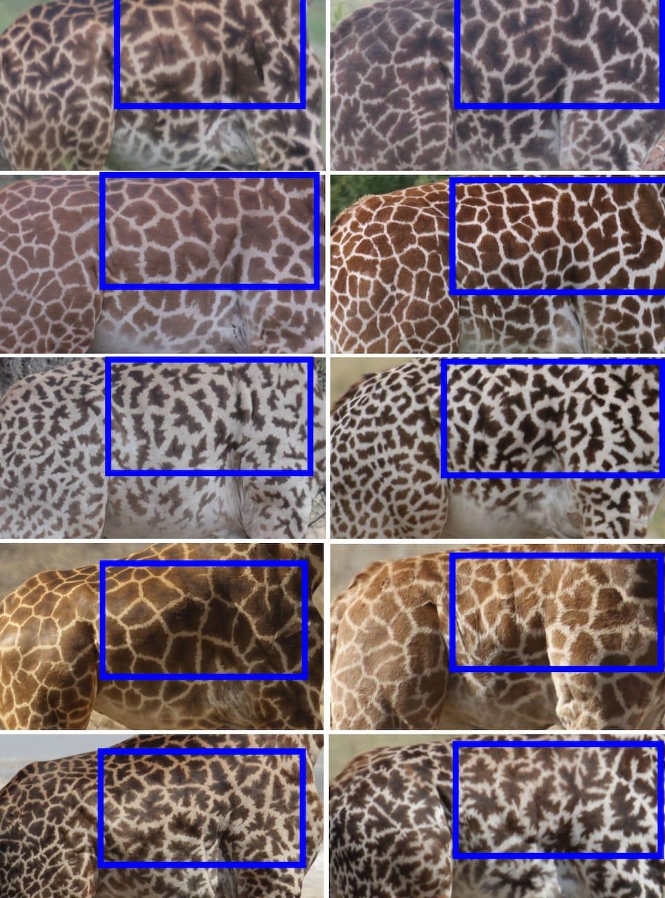 Photos montrant les taches similaires entre les mères et les jeunes girafes.