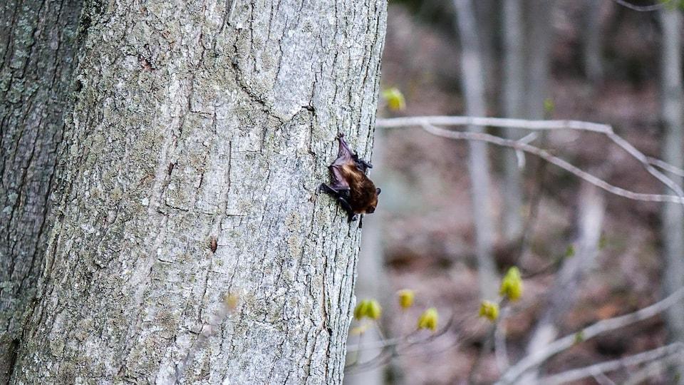 Une grande chauve-souris brune accrochée à un arbre