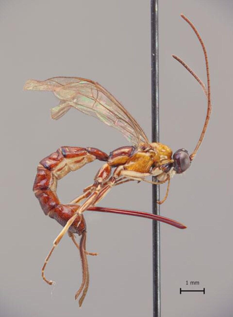 Un spécimen de la Clistopyga crassicaudata.