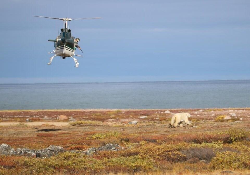 Depuis un hélicoptère, le scientifique Nick Lunn tire sur un ours pour le tranquiliser.