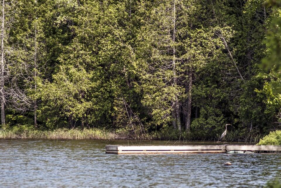 Un grand héron se tient sur un quai en bois installé dans un lac du Québec, avec une forêt en fond de scène.