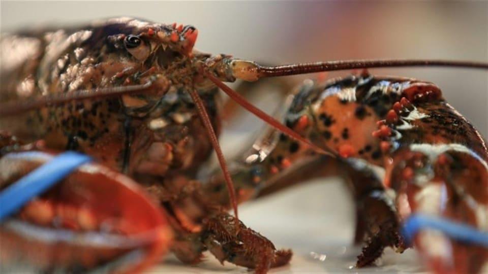 Un homard bien frais.