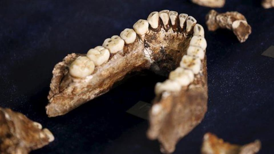 Les dents d'Homo naledi.
