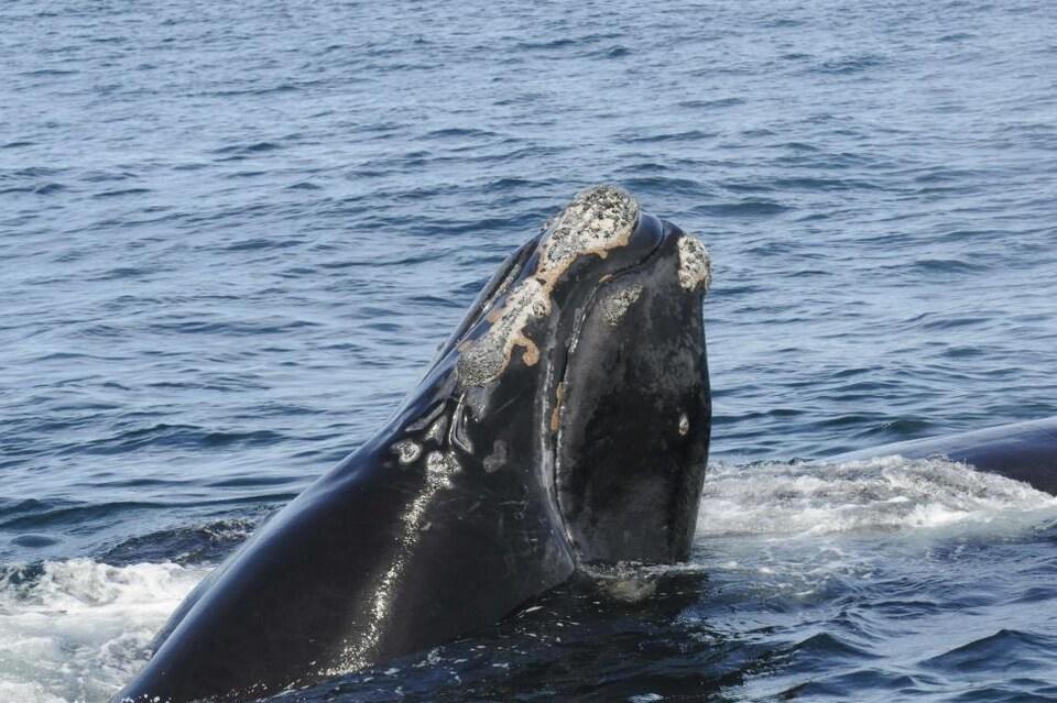 Une baleine sort la tête de l'eau
