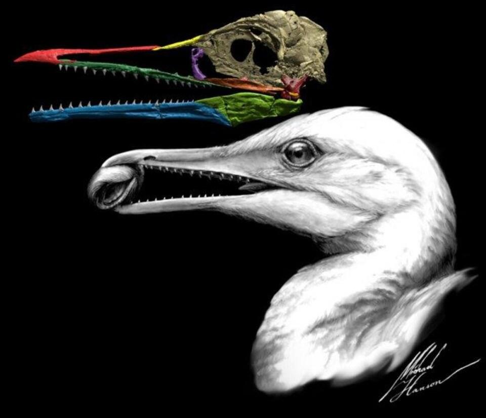Représentation artistique de la tête de l'Ichthyornis dispar