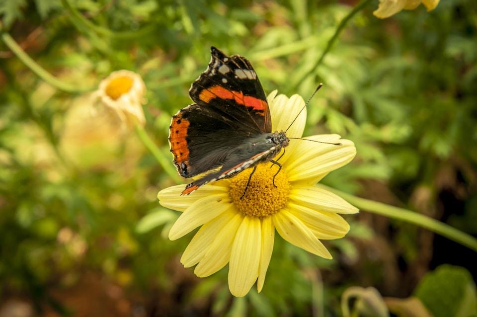 Papillon qui butine une fleur