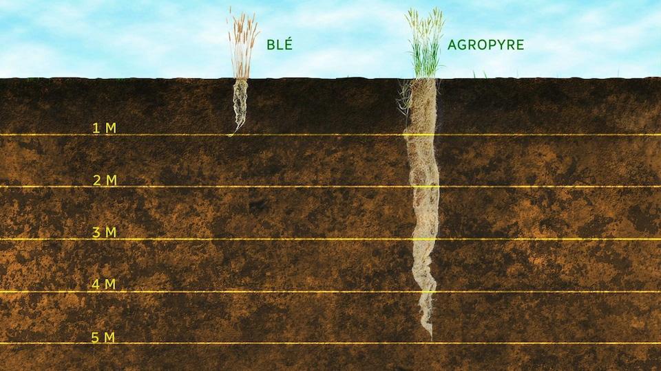 Une infographie montrant la différence entre les racines de blé et de Kernza.