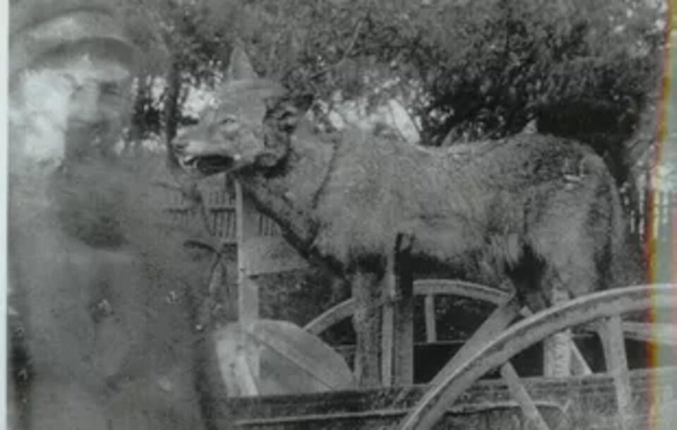 La légende du loup remonte à plusieurs décennies.