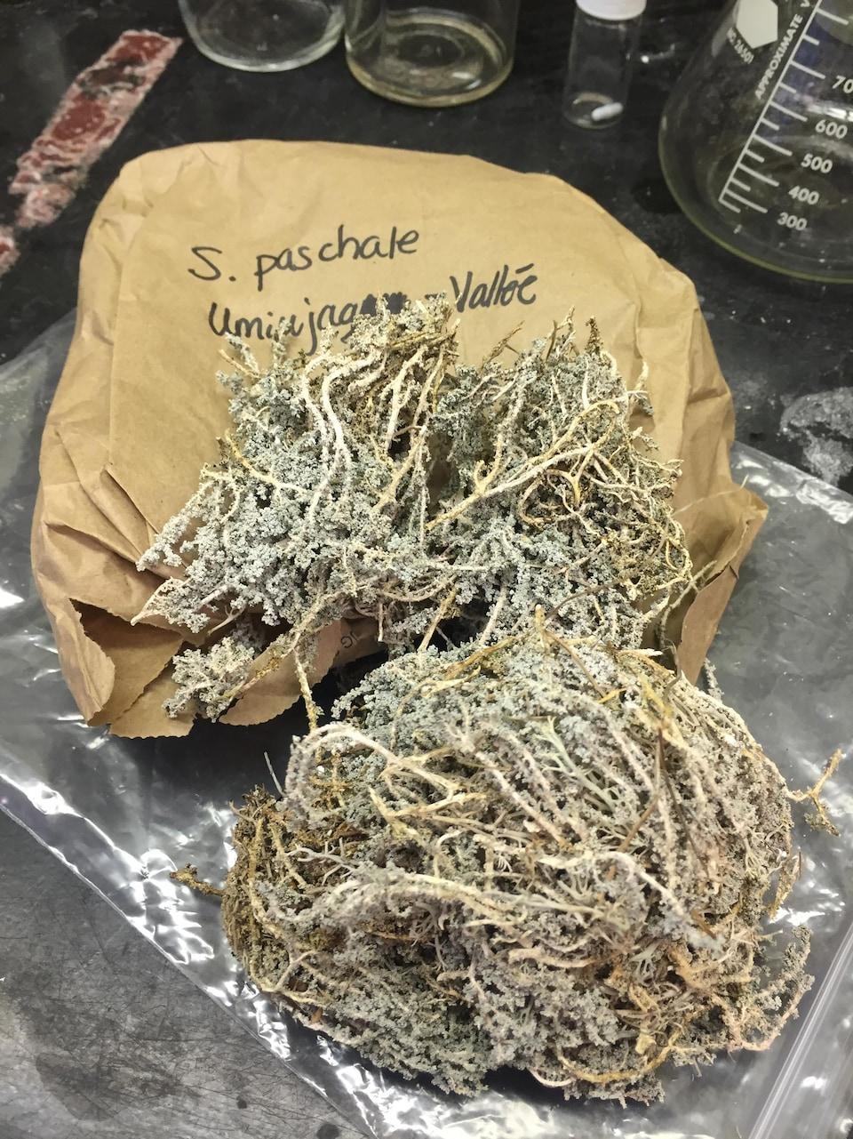 Le lichen Stereocaulon paschale contient des composés antibactériens prometteurs