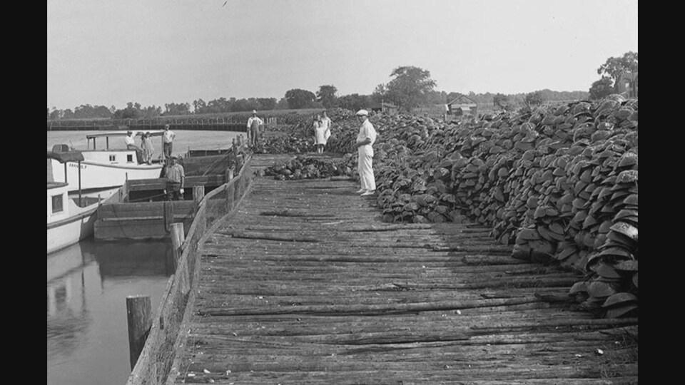 Des milliers de limules rassemblées par les pêcheurs sur un quai.