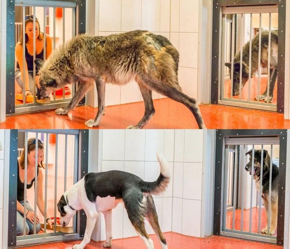 Les loups sont plus prosociaux que les chiens.