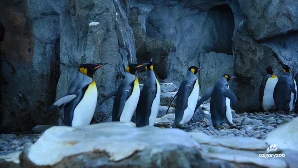 Les cinq manchots découvrent leur nouvel habitat au zoo de Calgary.
