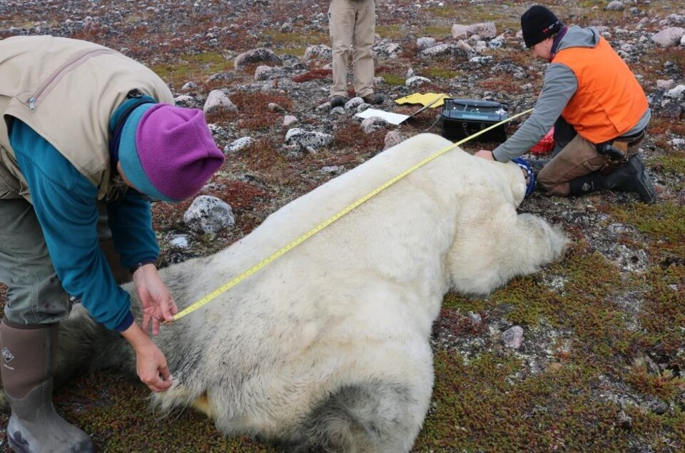 Des scientifiques mesurent un ours de la tête à la queue.