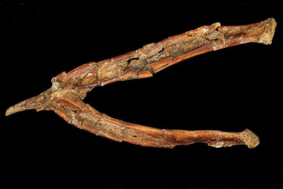 Reste fossilisé d'une furcula de Mirarce eatoni.
