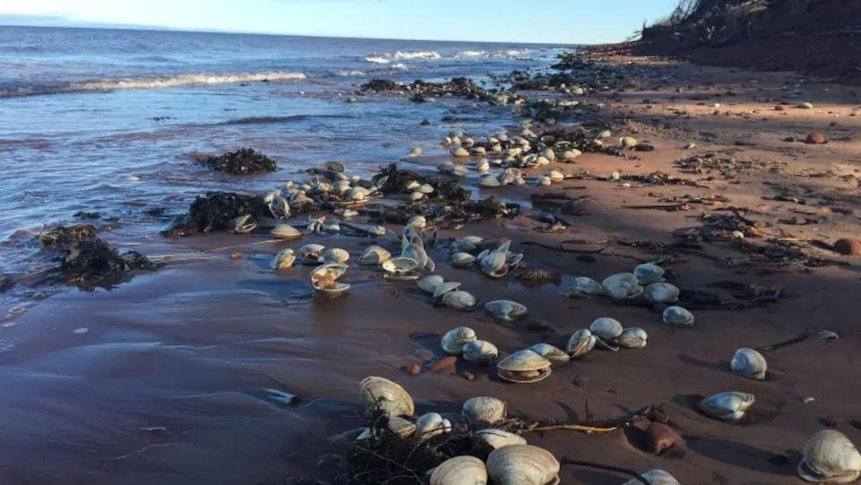 Sur la plage, une centaine de palourdes sont échouées sur le sable.