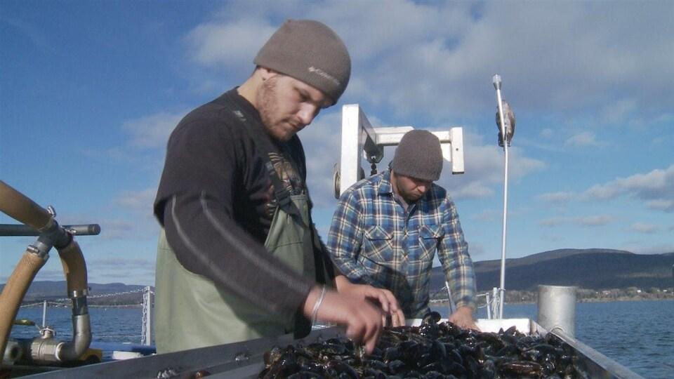 Récolte de moules dans la baie de Gaspé.
