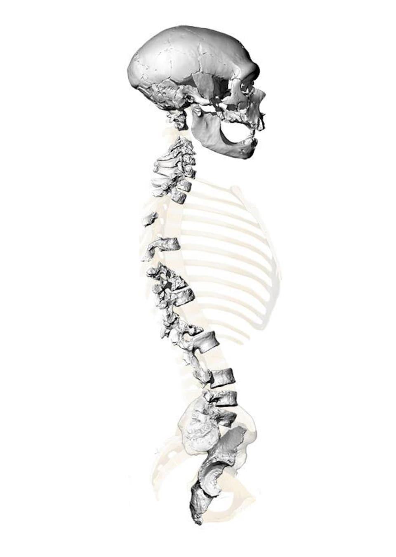 Reconstruction virtuelle du squelette de La Chapelle-aux-Saints, basée sur des imageries 3D haute résolution de la colonne vertébrale et du bassin.