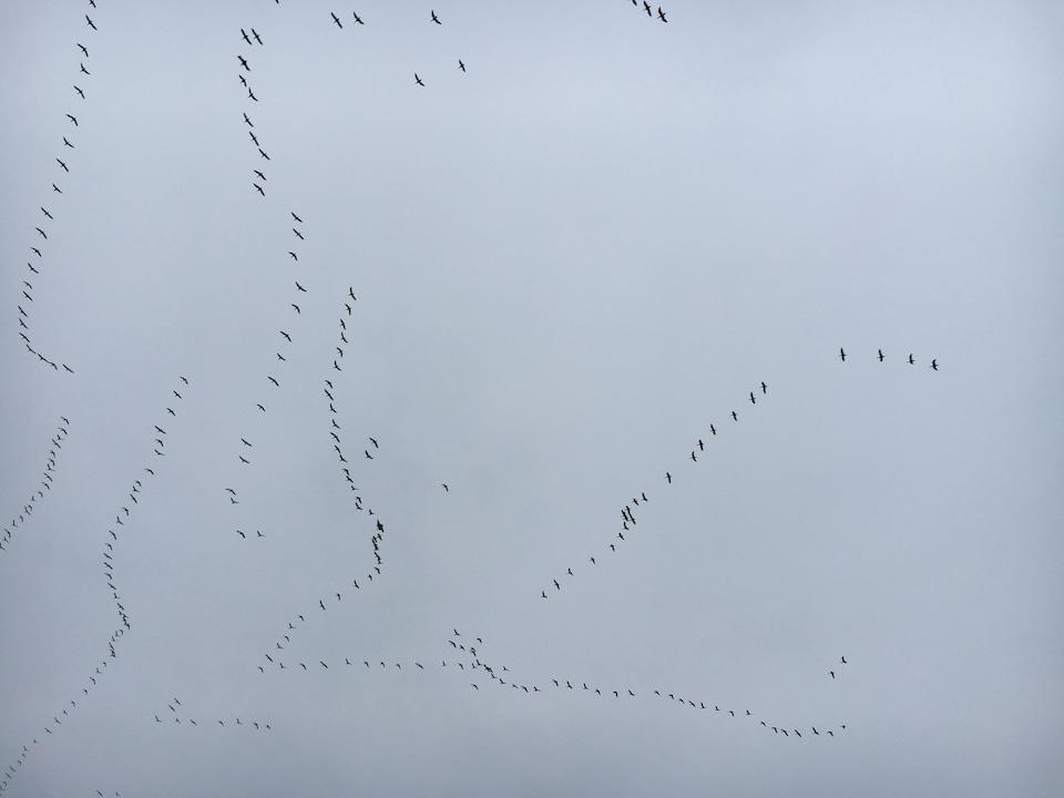 oies en vol dans un ciel gris