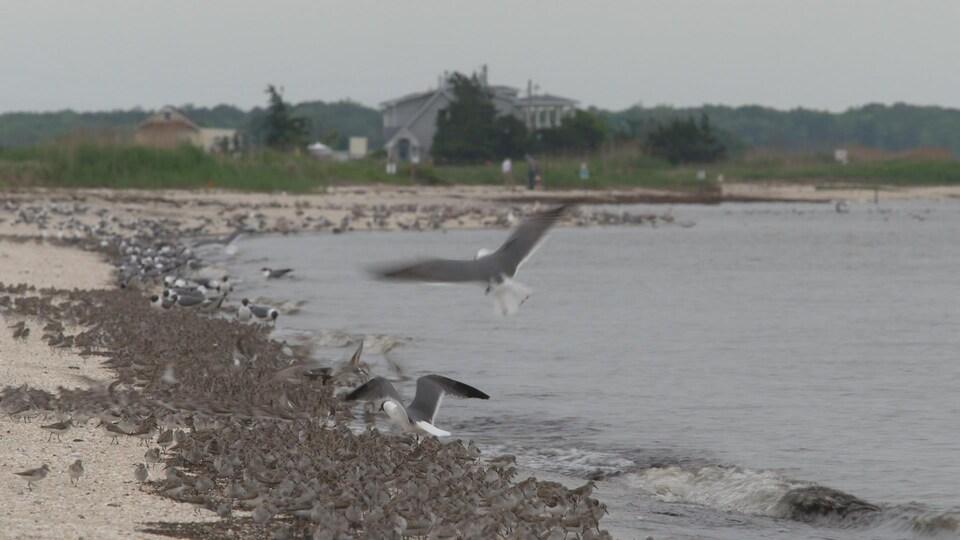 On voit des oiseaux migrateurs au bord de la baie du Delaware.