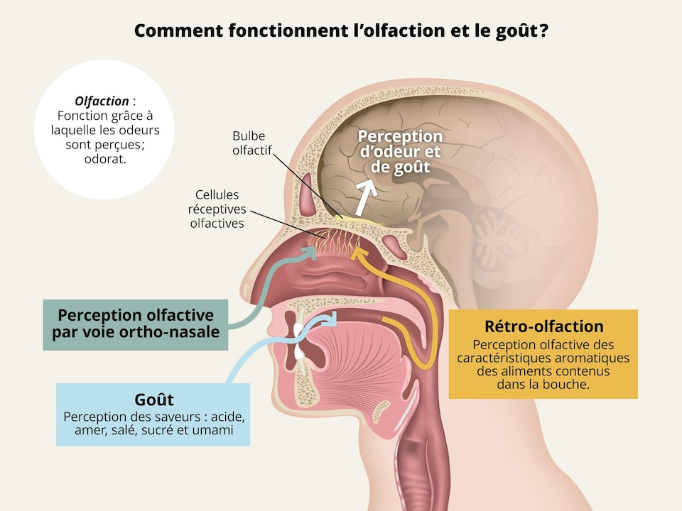 Infographie scientifique illustrant comment fonctionnent l'olfaction et le goût.