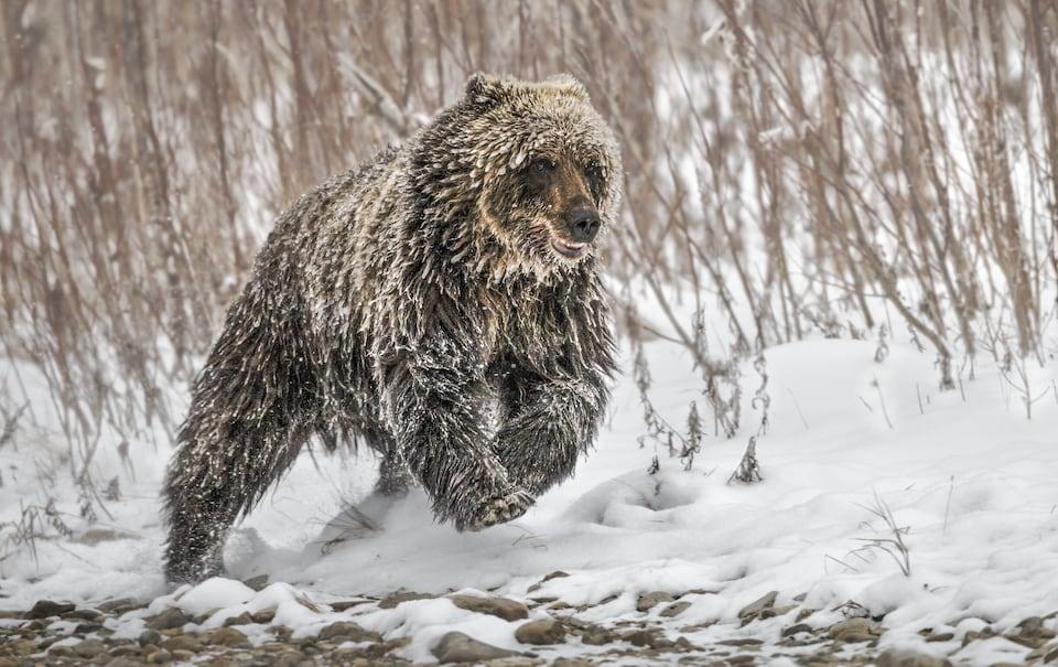 Un ours grizzli court dans la neige.