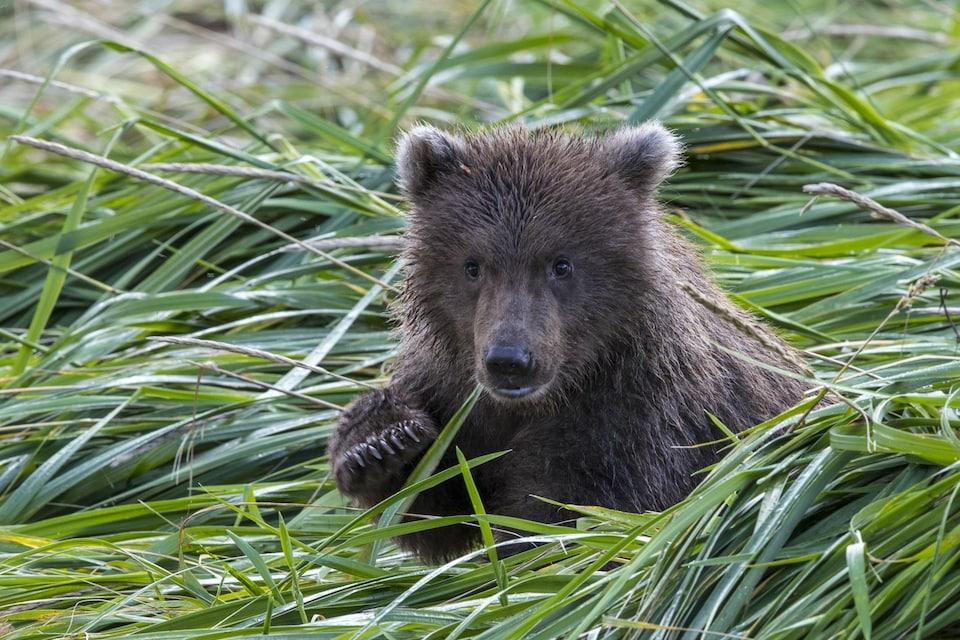 Un ours noir dans l'herbe.