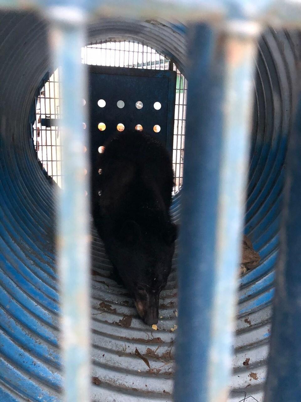 Un petit ours dans un cylindre métallique, derrière des barreaux de métal.