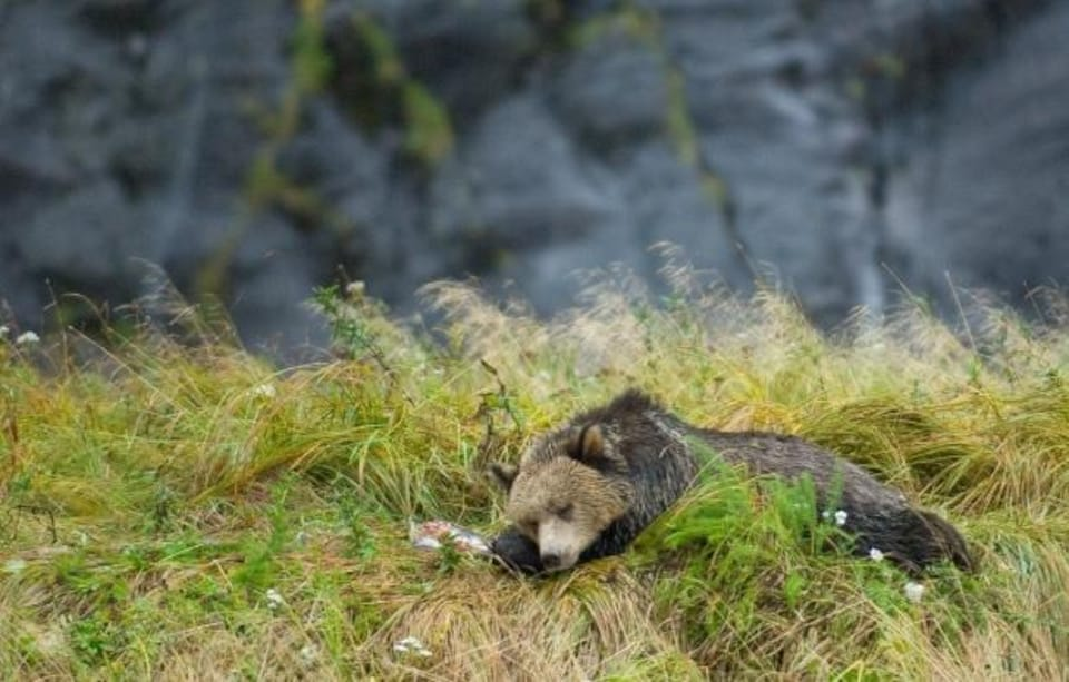 Un ours couché à côté d'un saumon