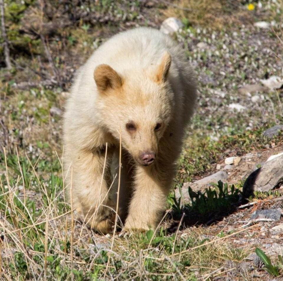 Une photo d'un ourson blanc de face.